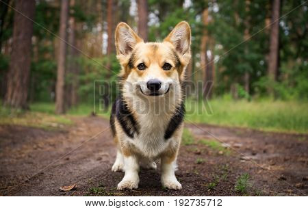Dog breed Welsh corgi pembroke for a walk in the beautiful forest.