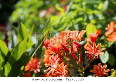 Beautiful lewisia plant with orange flowers in a garden