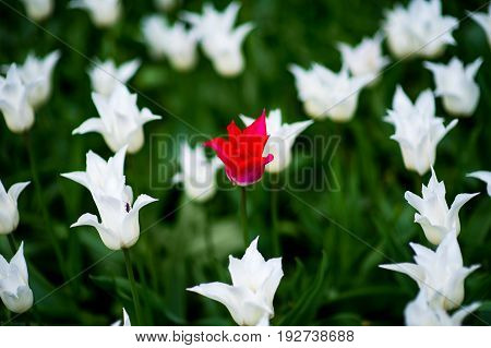 Lily-flowering Tulip Ballade White Tulipa hybrida in park, Moscow, Russia