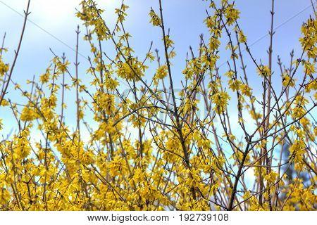Blooming in spring garden bush forsythia. Rural.