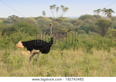 Large male Ostrich in East African savannah landscape