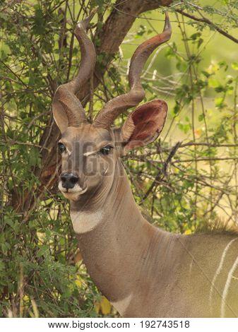 Lesser Kudu male antelope