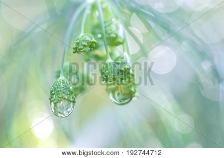 Dill closeup with drops of water. Macro of dill.
