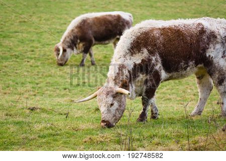 English Longhorn cattle an old and now rare British breed that almost died out but were rescued from extinction by the Rare Breeds Survival Trust in the 1980s