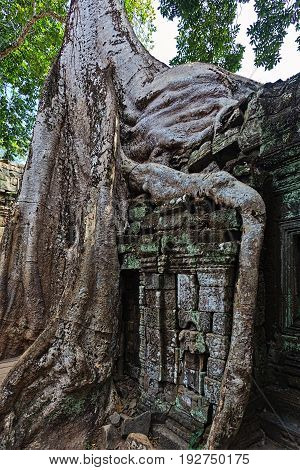 Slowly covering by rainforest ruins of Angkor Cambodia