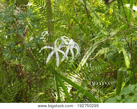 HDR Photo image of Crinum lilies in a forest