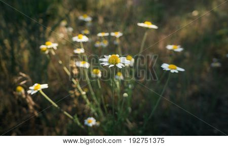 Wild camomile flowers on a field. Flowering. Camomile flowers on a meadow in summer. Healthy herb camomile