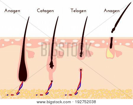 Hare care loos. life cycle of hair fall. vector illustration