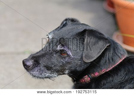 Senior contented black dog with grey whiskers