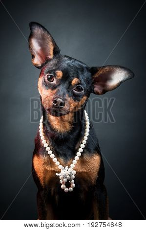 Puppy, dog, toy terrier portrait on a black background. Portrait of dog. woman. Ladies and gentlemen. The concept of duality. Toy terrier in a hat. Toy terrier in pearl beads.