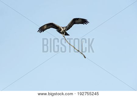 Osprey in flight carrying dead branch for nesting material