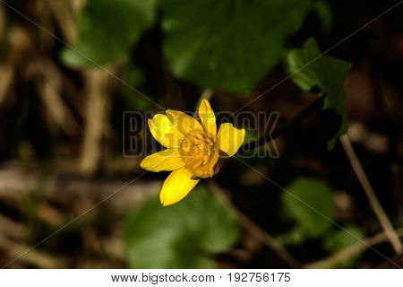 Blooming spring pilewort growing in the spring forest.