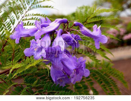 Jacaranda mimosifolia with purple-blue flowers in tropical garden,Tenerife,Canary Islands,Spain.Jacaranda tree.