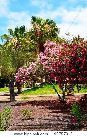 Blooming oleander bushes with beautiful pink flowers and palm trees in the park of Tenerife,Canary Islands.Selective focus.