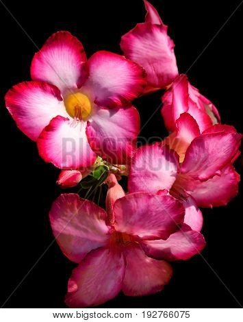 Natural pink cactus flower on a black background