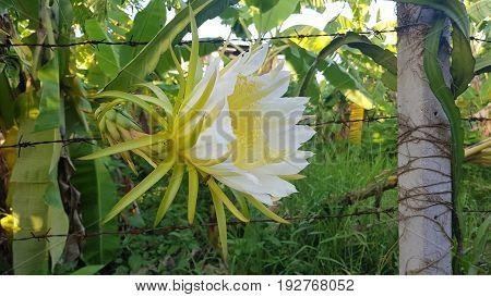 Dragon fruit flower or Pitaya flower blooming in the plantation (Hylocercus undatus(Haw) Brit. & Rose.).