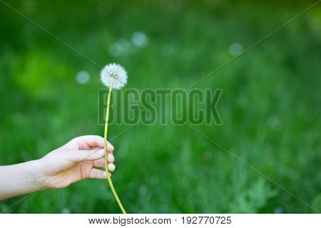 Dandelion flower over vivid green grass background. Boy holding white dandelion ready to blow. Summer dandelion in boy's hand against nature park outdoor.
