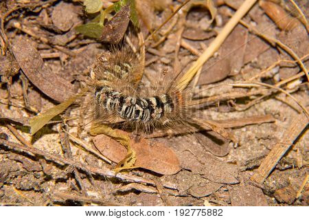 Macro Of The Hairy Caterpillar ,worm On The Grass , It Can Make You  Urticaria , Beautiful Worm ,  H