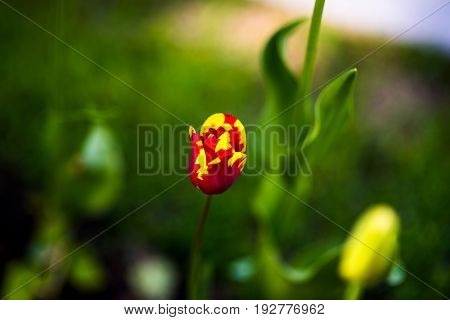 Tulip Absalon, Lily-flowering Tulipa hybrida in park, Moscow, Russia