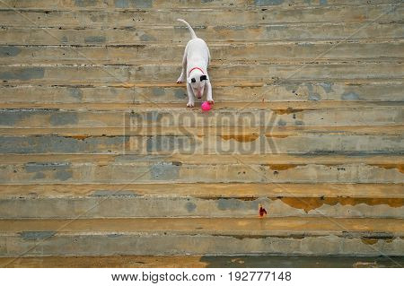 The bull terrier plays with a ball at old steps