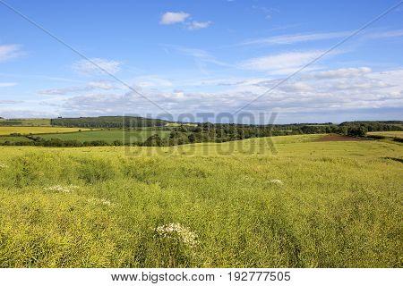 Ripe Oilseed Rape Crop