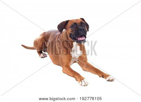 Beautiful boxer dog isolated on a white background