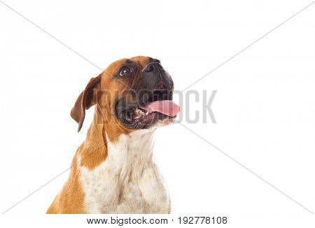 Beautiful brown boxer dog isolated on a white background
