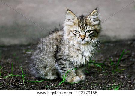 Homeless cats. Ruffled little grey kitten sitting on the ground among the green grass.