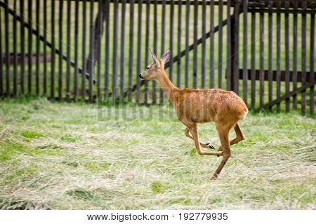young running deer on pasture