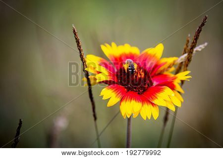 Wild flower with bee on summer meadow
