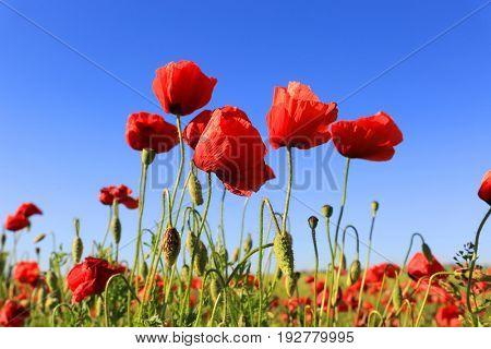 Red poppy flowers on blue sky background