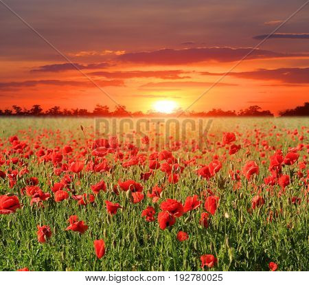 poppy meadow on sunset background
