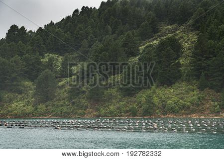 Picton New Zealand - March 12 2017: Wide shot of the hundreds of floaters holding strings with growing mussels in Hitaua Bay. Silver sky and green forested mountain background.