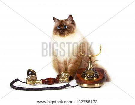 Young siberian neva masquarade color-point cat with retro telephone call expectation