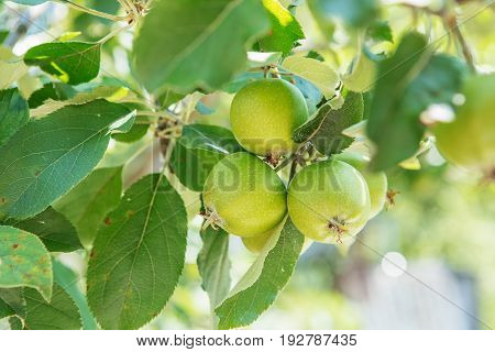 Apple Fruits Growing On A Apple Tree Branch In Orchard