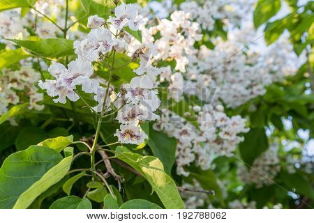 Flowering tree Catalpa bignonioides. White flowers and green leaves on blurred background.