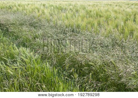 Three different cereal crops growing in field in East Sussex England