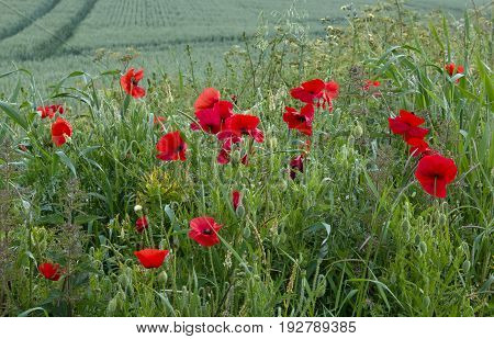 Poppies growing by crop field in southern England.