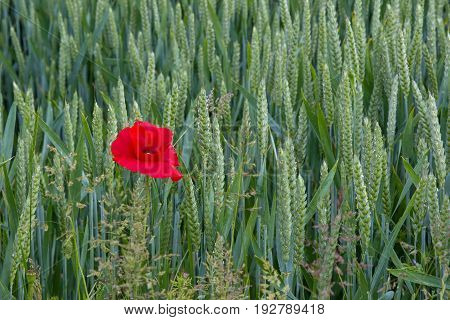 Lone poppy growing in wheat field in East Sussex England. Shown on left of image.