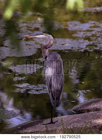 A Great Blue Heron in the shaded ledge near the lake balances on one foot