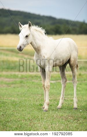 Amazing white welsh part-bred foal on pasturage