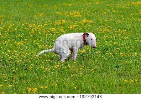Dog, bullterrier craps on a glade in a grass. Photo for ecological and clean nature projects