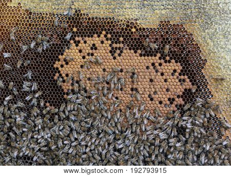 Frame with honeycombs and a lot of creeping bees