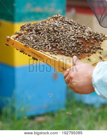 The beekeeper keeps in hand a frame with honeycombs and bees