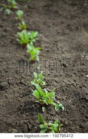 Young beet plants growing in vegetable garden