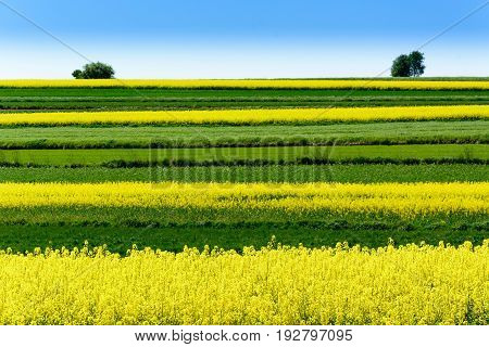 Landscape With Rape Flowers And Blue Sky