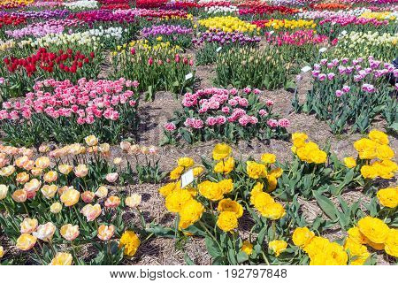 Dutch show garden with several kind of tulips. Each different tulip has a nameplate description.