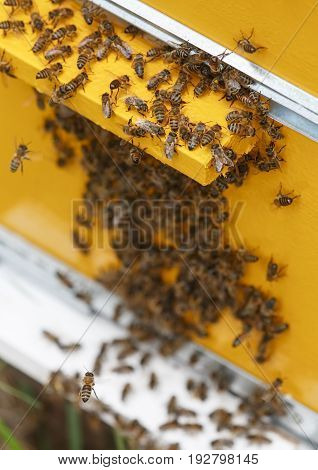 A lot of bees swarm at the entrance to the hive