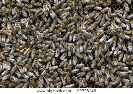A lot of bees sit on honeycomb with honey closeup