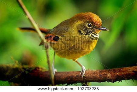 Chestnut-tailed Minla Bird